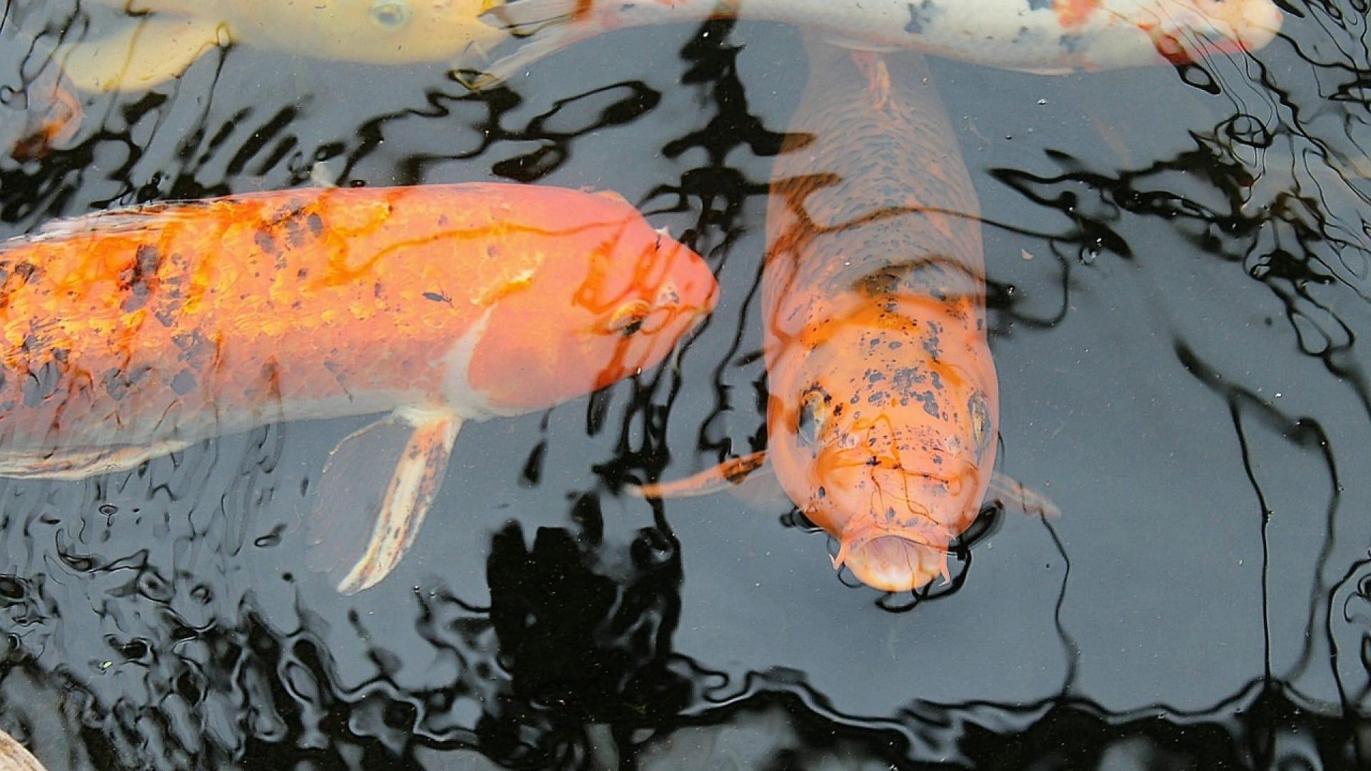 La carpe koi : un poisson pas comme les autres